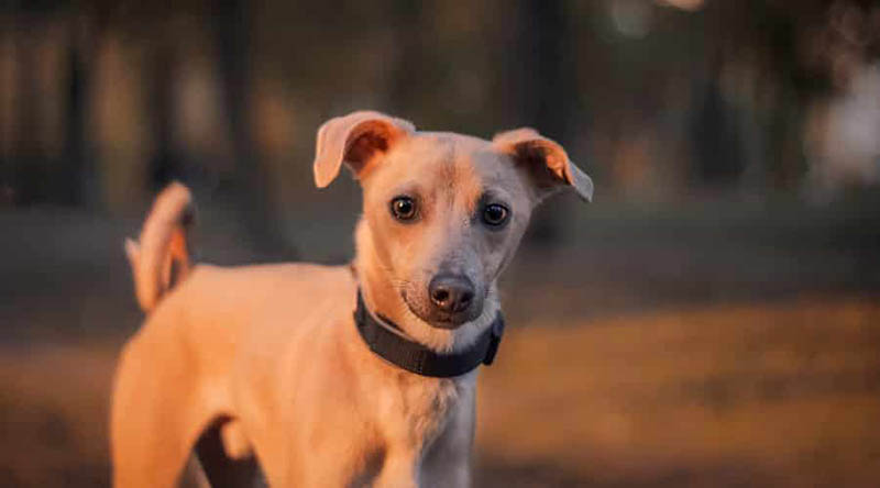 Chi-Whip-–-Whippet-Chihuahua-Mix
