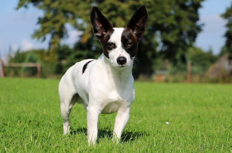 Chihuahua-Jack-Russell-Terrier-Mix