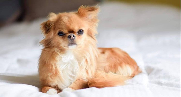 Chihuahua-Japanese-Chin-Mix