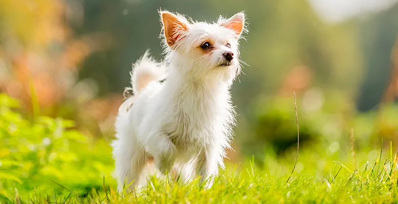 Chihuahua-Yorkshire-Terrier-Mix