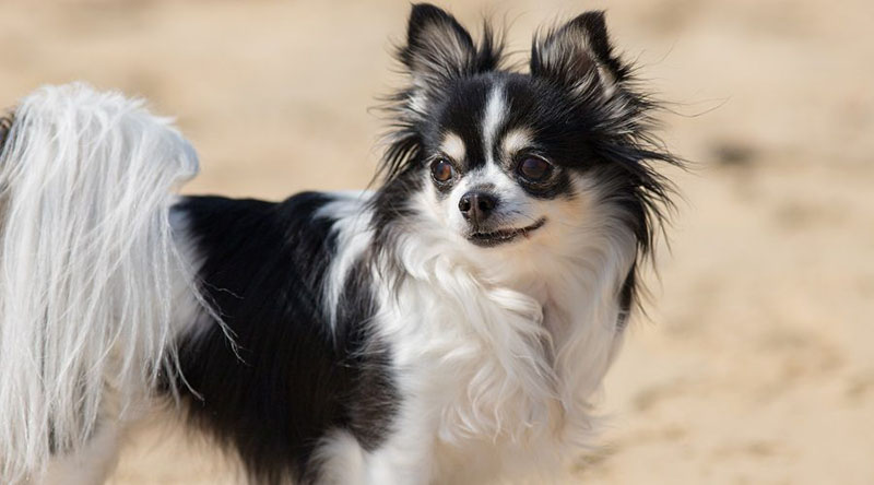 Chion-Chihuahua-Papillon-Mix