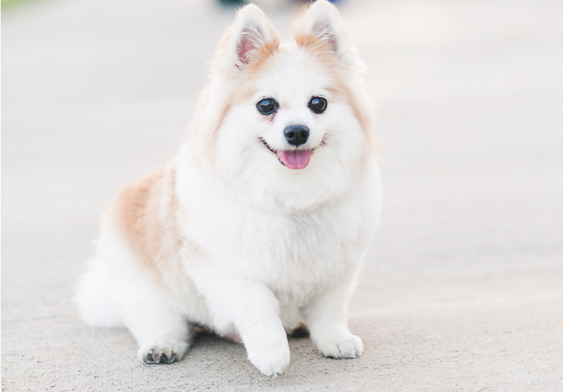 Cute-Pomeranian-Corgi-Mix