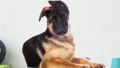 German-Shepherd-Ears