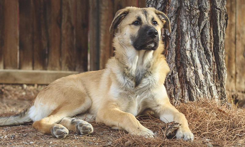 German-Shepherd-Great-Pyrenees