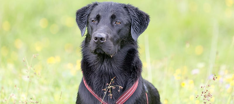 Golden-Retriever-Lab-Mix-Breed