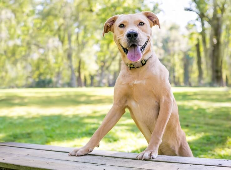 Golden-Retriever-Pitbull-Dog