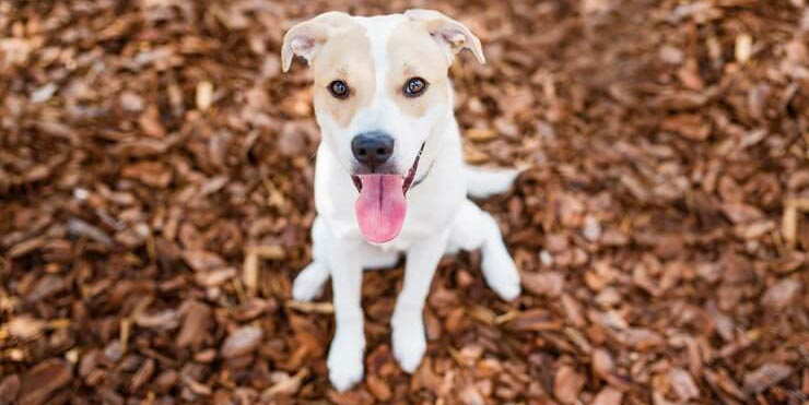 Golden-Retriever-Pitbull-Mix-Pup