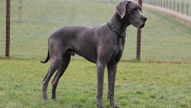 Great-Dane-Mixed-Breeds