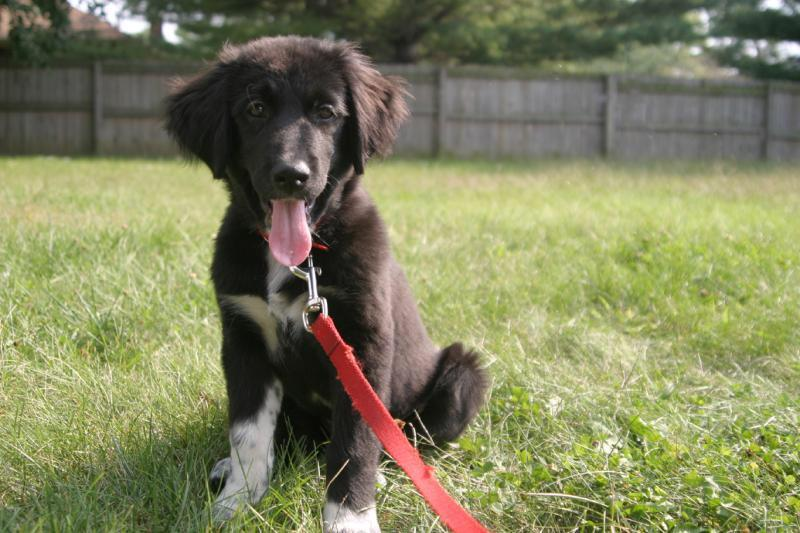 Great-Pyrenees-Lab-Mix-Breed