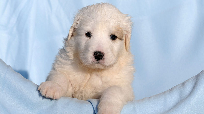 Great-Pyrenees-Lab-Mix-Puppy