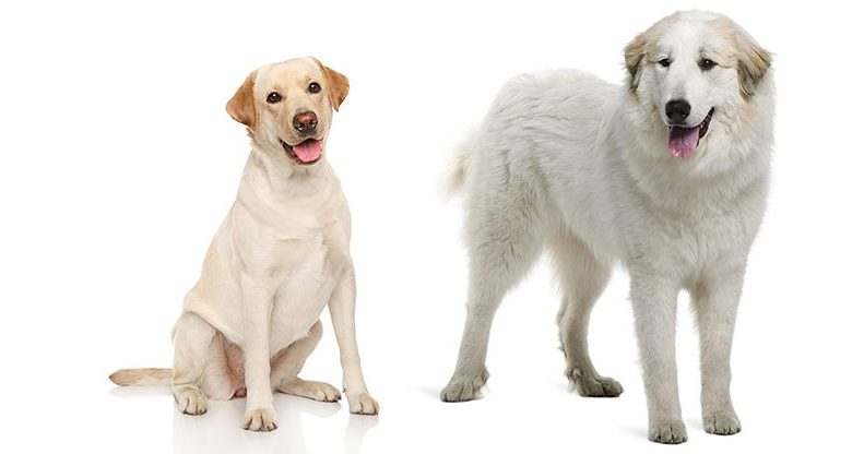 Great-Pyrenees-Lab-Mix