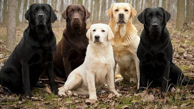 Labrador-Mixed-Breeds