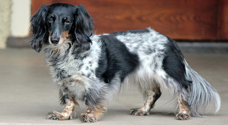 Long-Haired-Dachshund-Black-and-White