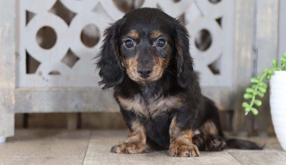 Long-Haired-Dachshund-Breed
