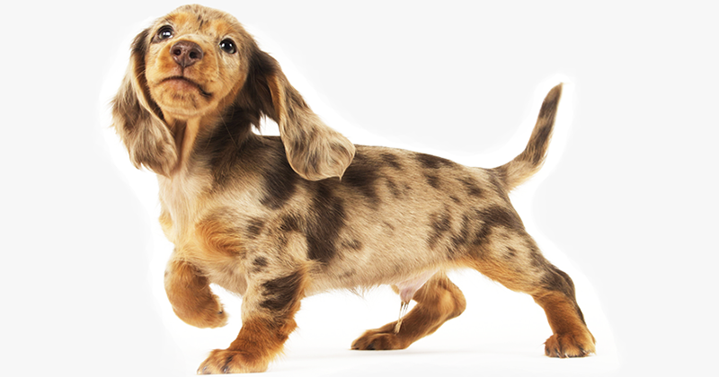 Long-Haired-Dachshund-Puppy