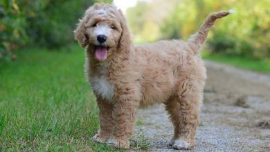 Mini-Goldendoodle-Breed