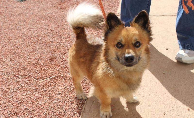 Pomeranian-Corgi-Mix-Dog