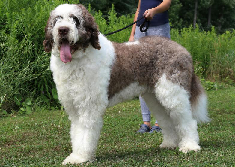 Saint-Berdoodle-Dog