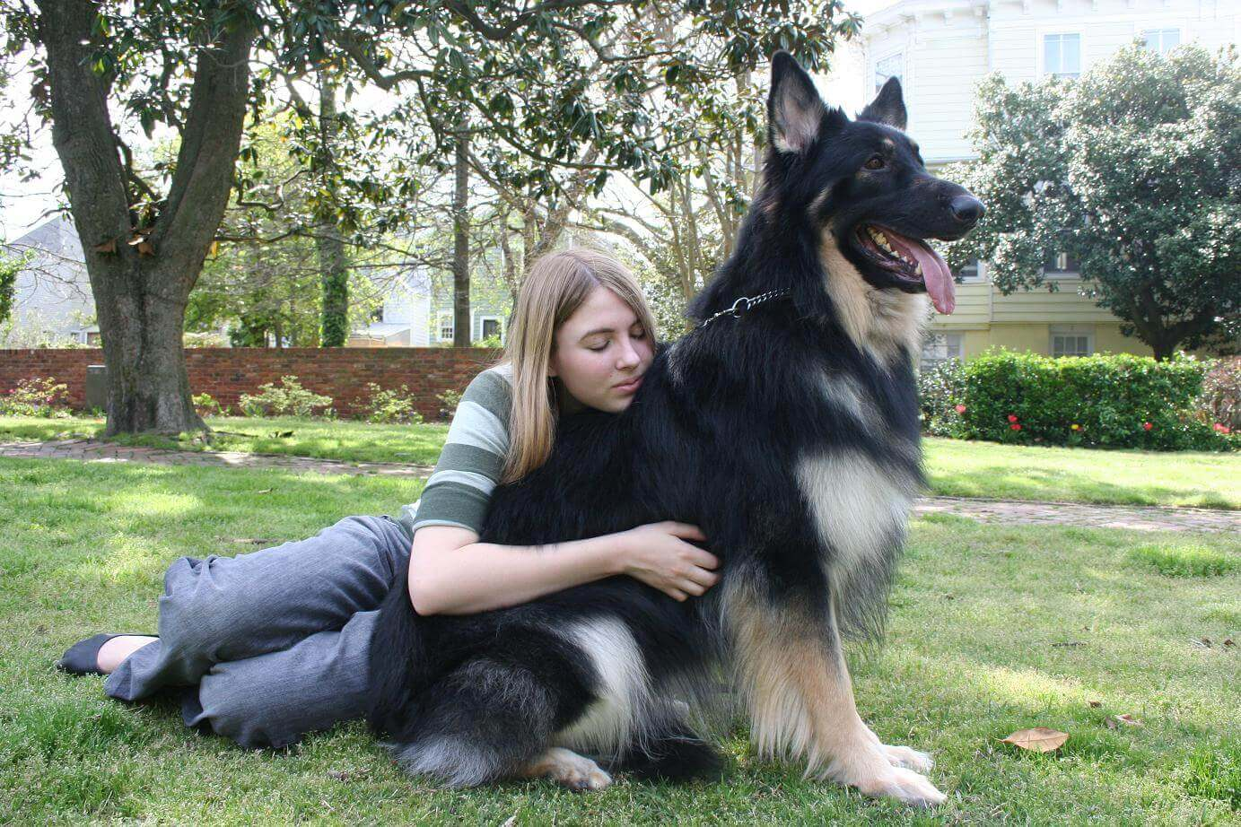 Shiloh-Shepherd-with-Owner
