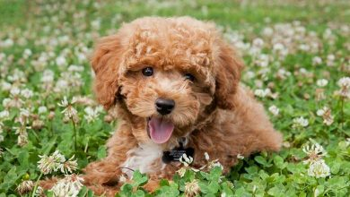 Teacup-Poodle-Dog-Breed