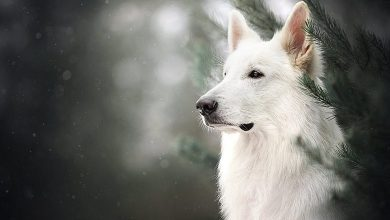 The-White-German-Shepherd