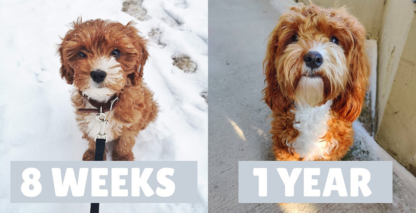 cavapoo-age-difference